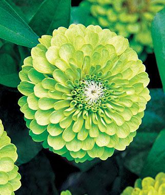 "Zinnia, Tequila Lime~Amazing crisp green lime flowers. Large, bright zinnias in a citrusy, delectable shade of green. You will marvel at the clear, crisp green of these large, perfectly rounded flowers. Growing up to 3"" in diameter, the bright, zippy blooms will give your garden a lime-like ""buzz"". Perfect for cutting and arranging. LifeCycle: Annual Uses: Beds Sun: Full Sun Height: 30 inches Spread: 12-14 inches Sowing Method: Direct Sow/Indoor Sow Bloom Duration: 10 weeks"