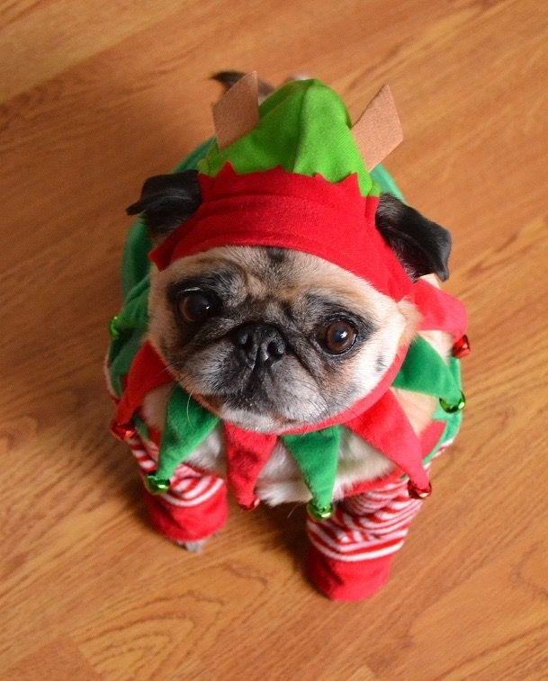 Mini-pug elf http://ift.tt/2gp1OPk
