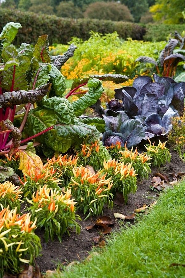 Edible Landscape - Bright Lights chard, purple cabbage and five color peppers in an autumn potager garden.