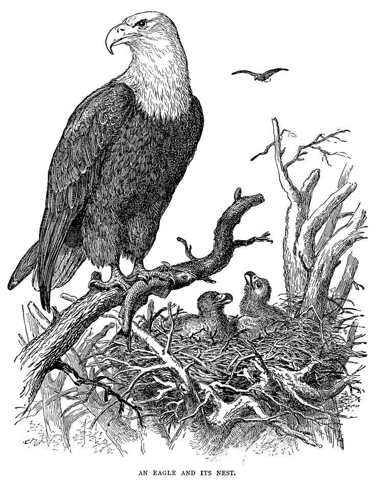 21 best Eagle Coloring Pages images on Pinterest
