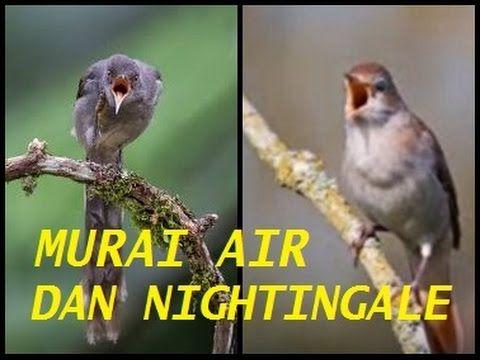 Masteran Burung Murai : Mix Murai Air dan Nightingale