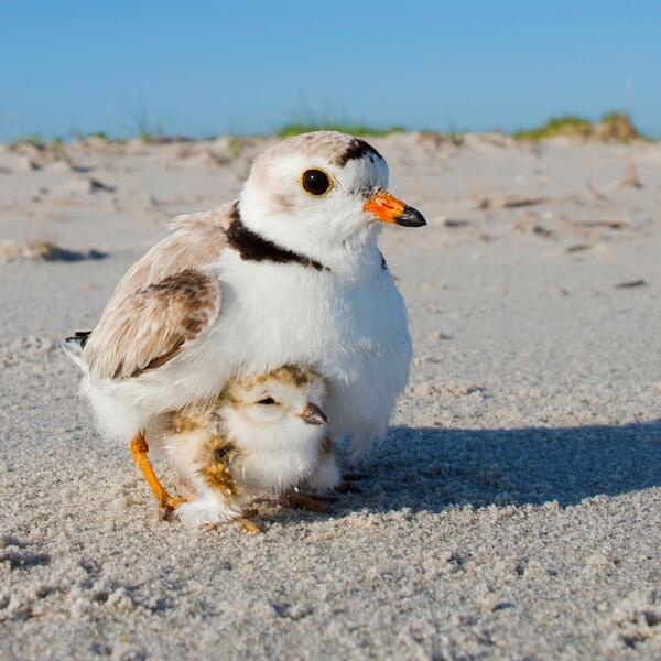 The federally threatened Piping Plover nests on beaches from North Carolina to Maine, and can be impacted by beach-goer activities during the Fourth of July weekend. Photo by Michael Stubblefield.