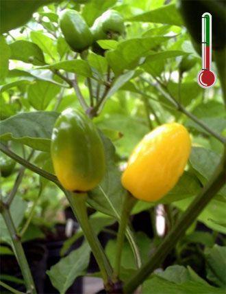 Pimentas Art | 40 Sementes de Pimenta Luna *Frete Grátis*