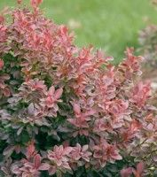 The Barberry Admiration, Berberis t. 'Admiration', is a very strong, bushy, and colorful shrub for the garden. It has glossy, oval leaves that are purple-red and yellow-edged. In the fall it shows off its crimson berries and leaves. The delicate pale pink flowers appear throughout the summer. It is low maintenance and ideal for banks and slopes.