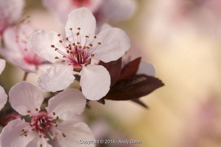 Andy Dean, Early Spring Pink Tree Blossoms - Stock Photos & Images | Stockafe.com #stockafe #stockphotography