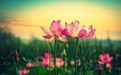 Wallpaper Gambar Bunga Teratai - Sepasang Teratai
