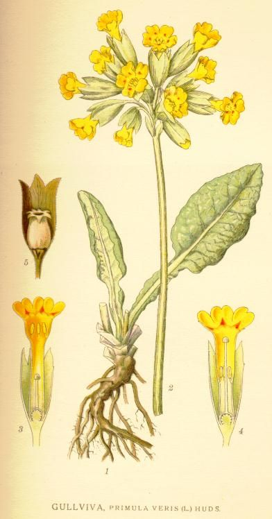 Primula Veris - Family Primulaceae - Common names – Bedlam Cowslip, Herb Peter, Key of Heaven, Common Cowslip. Uses:- Can be used in infusion for anxiety, insomnia and headaches. Can also be used to make cowslip wine or eaten in salads