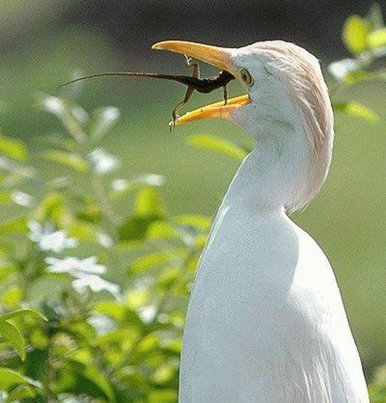 amazing: American Egret, Food Chains, Pictures, Funny Animal, Great White Heron, Feathers, Birds, Lizards, Egretta Albus