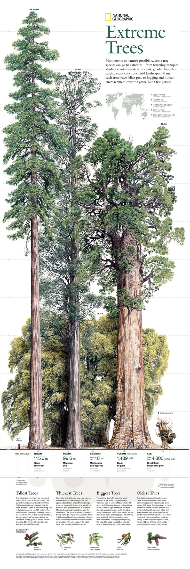 EXTREME TREES { COAST REDWOOD: tallest tree, 115/6 meters // MONTEZUMA BALD CYPRESS: thickest tree, water loving // GIANT SEQUOIA: biggest tree, in terms of volume of wood // GREAT BASIN: oldest tree, californias species surveyed 4,800 years! }