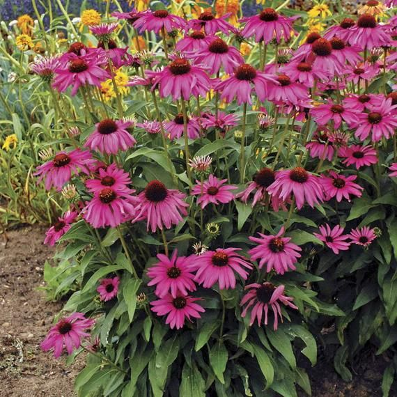 1 Oz Purple Coneflower Seeds Echinacea Purpurea In 2020 Easiest Flowers To Grow Echinacea Echinacea Purpurea
