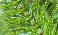 #Horsetail is a thin, perennial herb that looks like the tail of a horse.