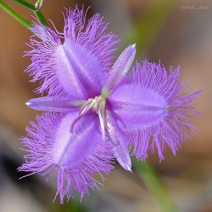 Common Fringe-Lily. Thysanotus tuberosus.  Such a gorgeous iridescent purple.  Crackneck walking track. 20/11/14