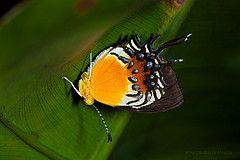 Borboleta Helicopis gnidus (Almir Cndido de Almeida) Tags: rain forest butterfly amazon mt state lepidoptera papillon inseto borboleta floresta mato sul grosso estado amazonia insecta metalmark amazonica riodinidae amazonico helicopis marcelandia gnidus