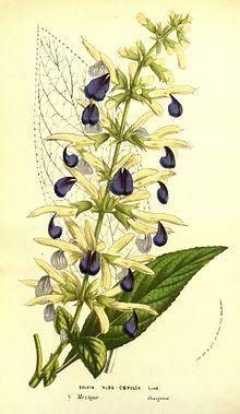 """""""Salbei (Salvia) ist eine Pflanzengattung in der Familie der Lippenblütler (Lamiaceae). Sie ist fast weltweit auf allen Kontinenten außer Antarktika sowie Australien verbreitet. Mit 850 bis über 900 Arten ist es etwa die zwanzigste unter den artenreichsten Gattungen der Bedecktsamigen Pflanzen (Magnoliopsida, Angiospermen).[1] Der Name (lateinisch salvare heilen) bezieht sich auf den für Küche und Medizin wichtigen Küchen- oder Heilsalbei (Salvia officinalis). """" Salbei – Wikipedia"""