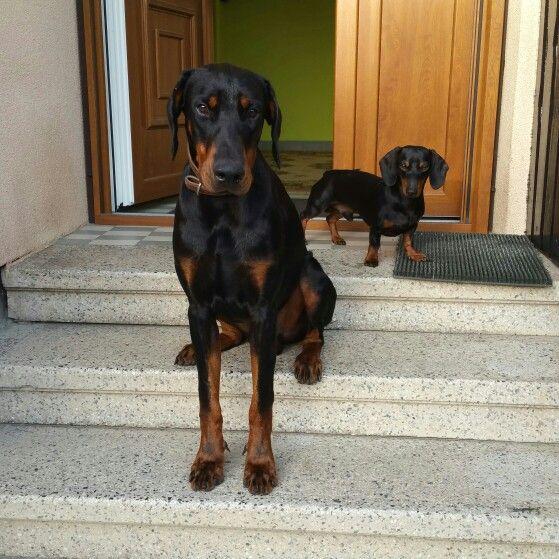 Picúr and Odin #doberman #odin #szeged #hungary #suncity #mydog #mansbestfriend #bitsy #doxie #dachshund