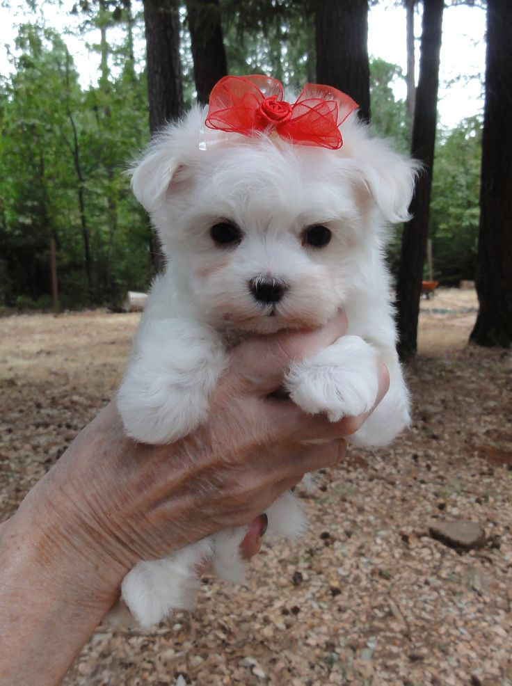 Pearl - Maltese Magic Puppy