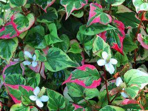 Houttuynia cordata (Chameleon Plant)