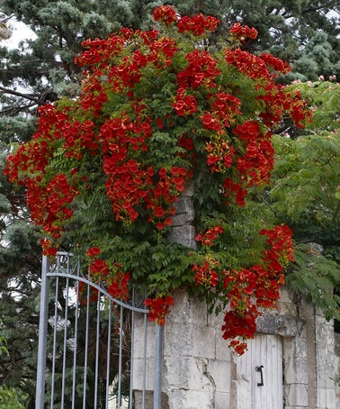 Take a look at this Hot Lips Campsis Vine by Cottage Farms Direct on #zulily today!