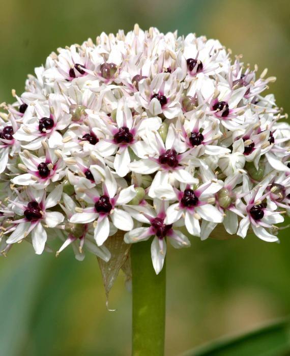 Allium Silver Spring Dutchgrown Garlic Flower Fall Bulbs Bulb Flowers