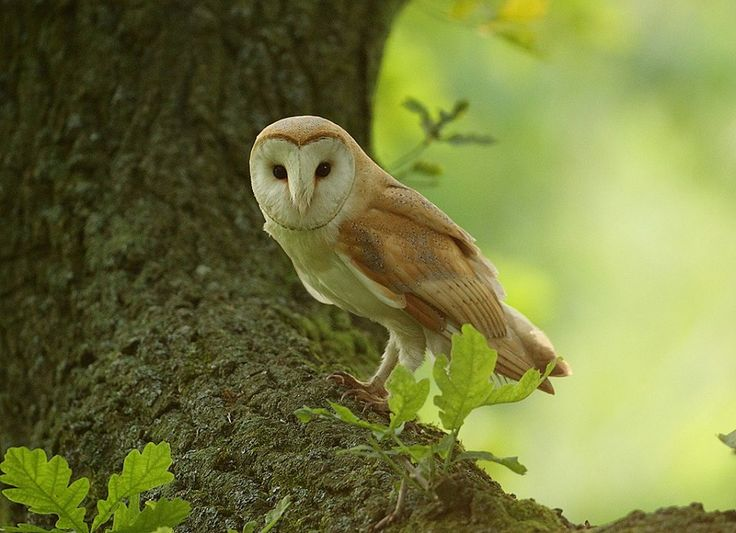 1659 best images about Animals Bird Owl / Uil on Pinterest