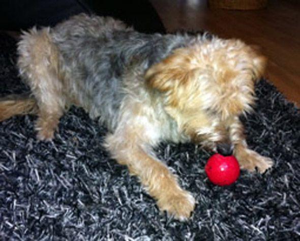 · das Hundespielzeug KONG Biscuit ist fast unverwüstlich · das KONG Spielzeug für Hunde ist wie ein Futterball zu nutzen · robustes Hundespielzeug mit unterschiedlichen Öffnungen in denen man Leckeres verstecken kann · interaktives Spielzeug für Hunde – hier muss er mitdenken · Spielsache für Hunde aus Naturkautschuk · Hundespielsache für den besonderen Spielspaß