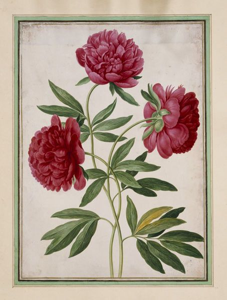 Paeonies (Paeonia officinalis) by Germany Walther, Johann Jakob, (born 1599 - died 1677). watercolour on paper. The 'Nassau Florilegium' was a manuscript florilegium compiled between ca 1650 and 1670 by Johann Jakob Walther. Antique botanical illustration. V&A.