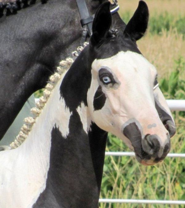 Little Blue Eyes. Lovely black and white paint foal ...