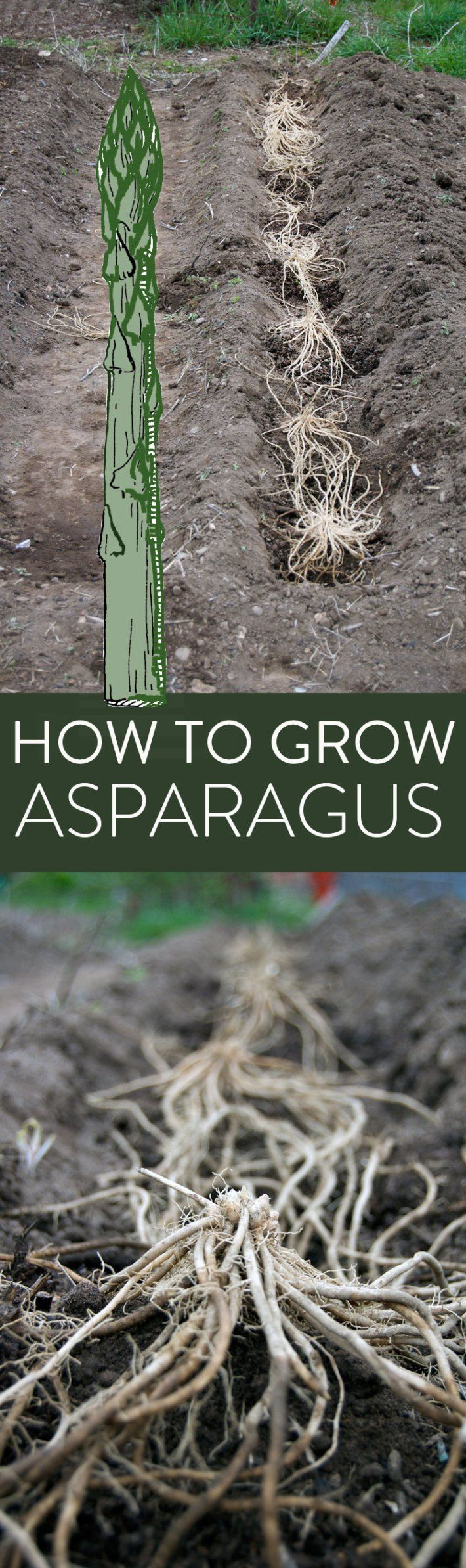 A great guide to growing asparagus. Zones it grows in, how to plant it, plus a handy tip sheet. Yes it takes 2 years to harvest. Big deal. It's worth it!