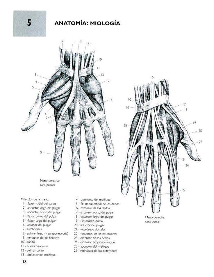 Increíble Tendones De La Anatomía Del Pulgar Motivo - Imágenes de ...