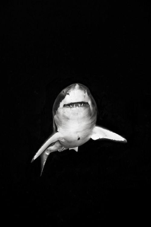 The Amazing White Shark.