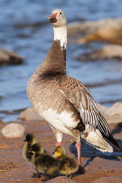 Snow Goose (blue phase) female with young