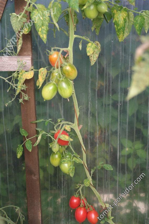 Форум - выращивание томатов, огород, дача - Де-барао Царский 11 августа