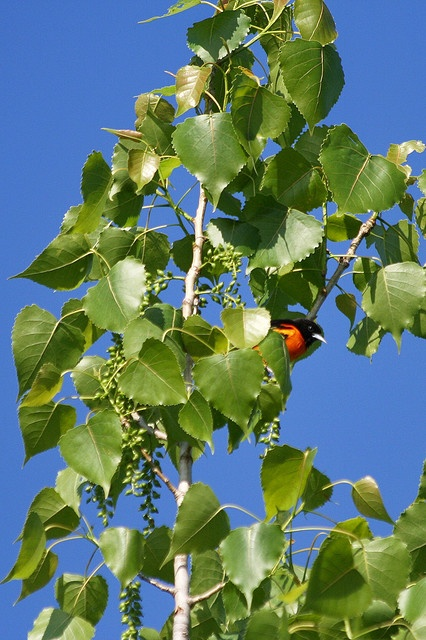 Baltimore Oriole, beautiful song with this bird     Get Cheap Baltimore Orioles Tickets Here and Save!  All Baltimore Orioles Tickets Have Been Reduced!  http://craigslisttickets.biz/ResultsEvent.aspx?event=Baltimore+Orioles=92