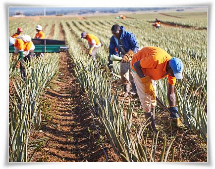 Harvesting of Aloe barbadensis Miller Plant Leaves #StabilizedAloeVera #AloeVera #ForeverLivingProducts