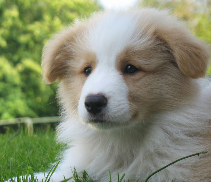 WANT!  I saw a border collie/golden retriever mix puppy a few weeks ago on a border collie rescue site.  This reminded me of her!