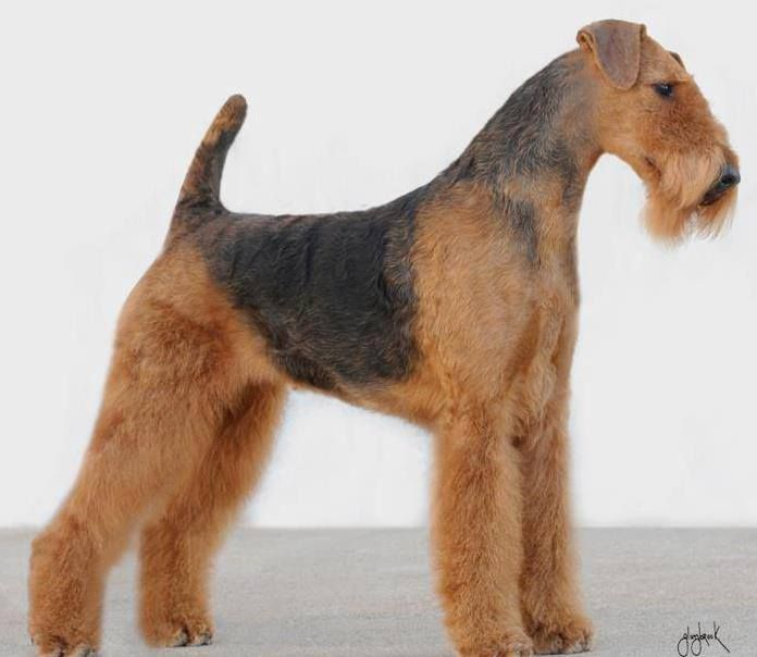 The Airedale has a sweet disposition, but when challenged, is not afraid to stand up for himself. Obedience training is important for these quick learners, but make sure to keep it interesting - they can get bored easily! They also thrive with daily exercise. Although relatively easy to maintain, the Airedale coat needs regular brushing and stripping.