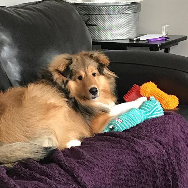 What I M Not Allowed On The Couch With All My Toys Sheltie