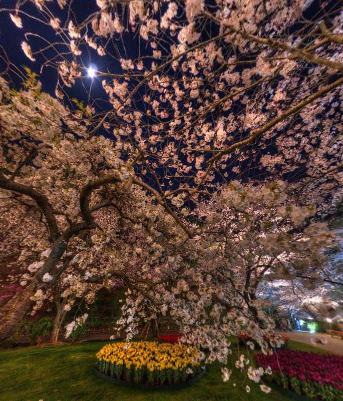 Cherry Blossoms at night,Hamamatsu Flower Park (Japan) by Bibouroku Tabito https://www.360cities.net/image/cherry-blossoms-at-nighthamamatsu-flower-park-4-japan