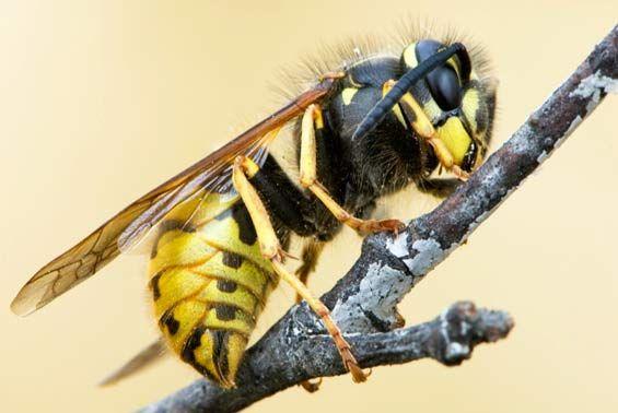 DOC: Wasp information