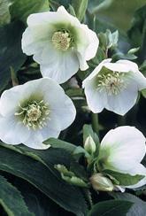 Hellebore White Lady - Plants