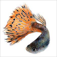 1000 bilder zu fische auf pinterest aquarium for Siamesischer kampffisch haltung