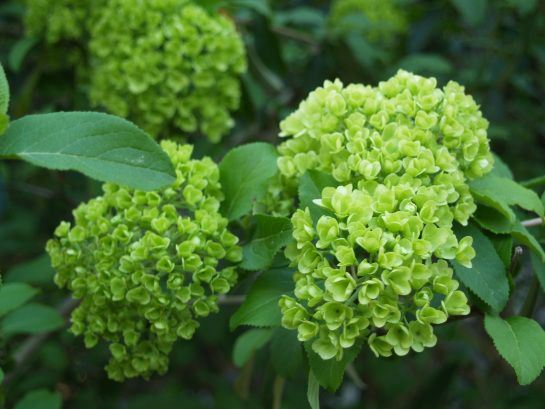 viburnum girls If you have a small space and still want a viburnum, this cultivar may be the solution slow-growing and maturing to three to four feet tall, dwarf koreanspice.