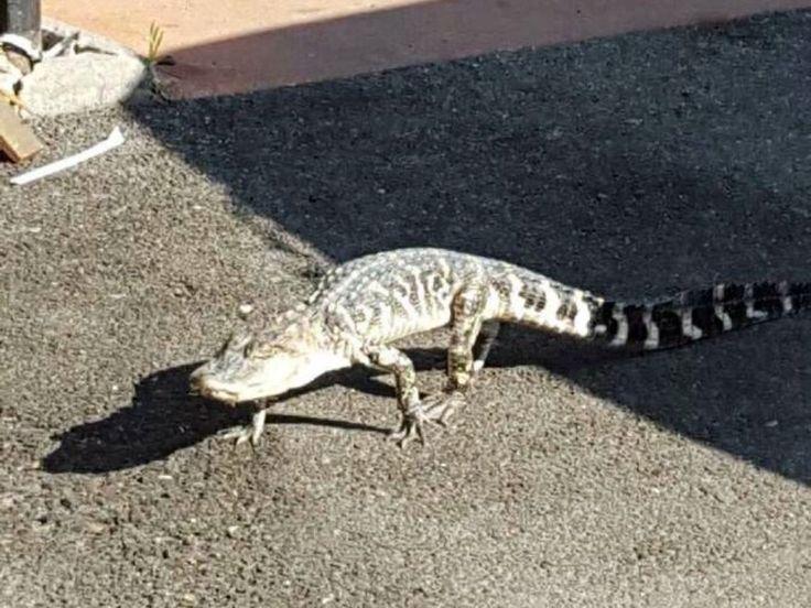 Hier überquert das Krokodil die Ninth Avenue in Inwood. Kurz darauf konnte das Reptil eingefangen we... - AP