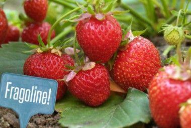 Fragole in vaso: come coltivarle nel vostro orto sul balcone! | Giardinieri in affitto