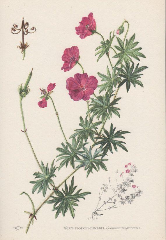 1950's Botanical Print, Geranium sanguineum, Bloody Geranium, Flora Illustration, Botany Print, Vintage Lithograph, Wildflower Print