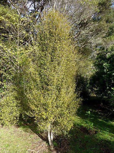 Coprosma arborea, Auckland, NZ by Murray Dawson.