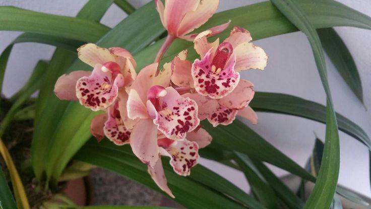 Prima fioritura casalinga per il mio primo cimbydium