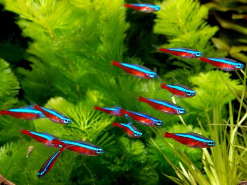 Cardinal Tetra — Fish Laboratory