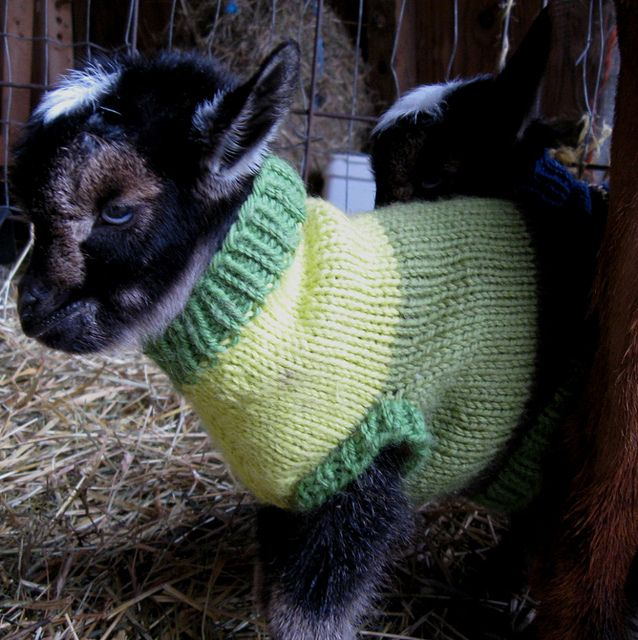 one of Cameo's 2012 triplets, a blue-eyed buckling, in a hand knit wool sweater