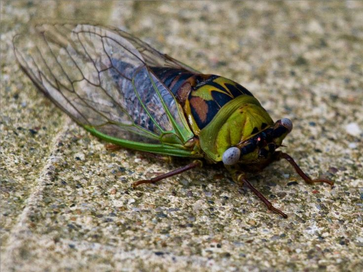 Cicada.: Insects Amphibians Reptiles, Cicada Jpg 1024 768, My Daughters, Bugs Life, Favorite Bugs, Insectsamphibiansreptil, Insects Spid, Kids, Stained Glasses